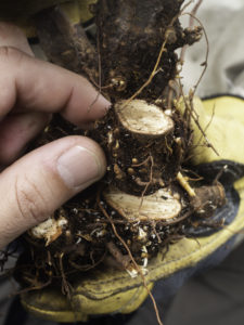 Cutting the largest stem closer and closer to the root ball to see if we can get the oldest part - the root collar. Even on the top part you can see some small roots though.